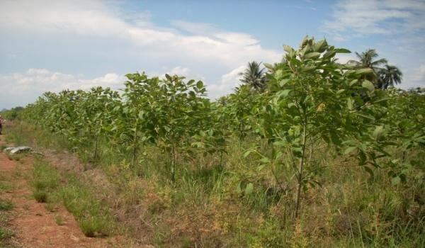 kratom-orchard-2